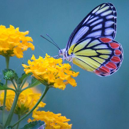 Butterfly landing on yellow flowers